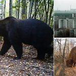 Qui vit à Tchernobyl ? Et malgré les radiations !