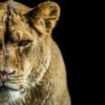 Quelques réalités étranges et insolites sur les lions !