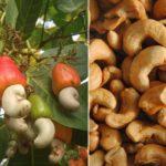 Les fruits dont vous ne saviez pas comment ils poussaient