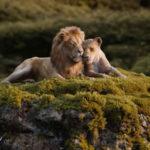 Les lions du Roi Lion sont  différents des lions réels.