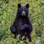 Un ours noir renifle les cheveux d'une randonneuse qui reste sereine