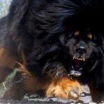 Les 10 chiens préhistoriques les plus cools !