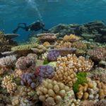 Des plongeurs plantent du corail dans la grande barrière d'Australie