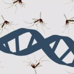 Floride : 750 millions de moustiques génétiquement modifiés vont être lâchés dans la natur