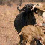 Les combats d'animaux sauvages les plus impressionnants