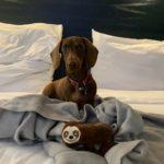 Une chienne a parcouru 16000 km pour rejoindre ses propriétaires
