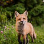 1430 renards menacés d'être abattus en Seine-Maritime