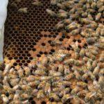 Pour battre un record, un homme couvre son corps de centaines de milliers d'abeilles