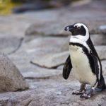 Brésil : mort d'un pingouin sur une plage après avoir avalé un masque