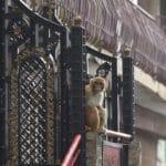 En Inde, des singes affamés harcèlent la population d'une ville touristique