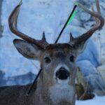 «Carotte le cerf magique» reçoit une flèche dans la tête au Canada, les habitants se mobilisent pour le sauver