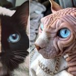 Top 10 des chats les plus bizarres du monde (photos insolites)