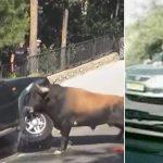 Les accidents d'animaux en colère sur la route filmés par une caméra