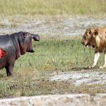 10 combats d'animaux sauvages les plus féroces filmés par caméra