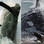 Quand les orques sont dangereuses (Les baleines aussi les craignent)