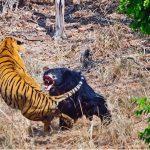 Les combats d'animaux les plus violents filmés par caméra